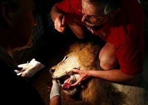 Tenderly treating a lion's cracked tooth