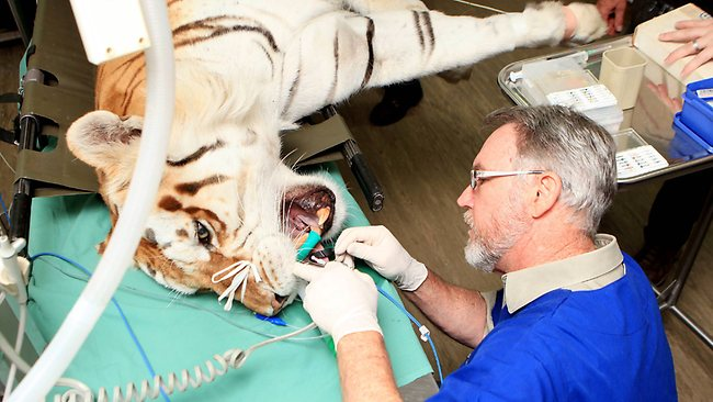 A root canal saved this tiger's tooth from extinction